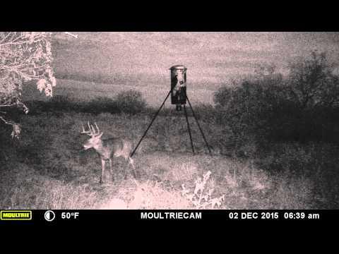 San Isidro Tx, whitetail buck