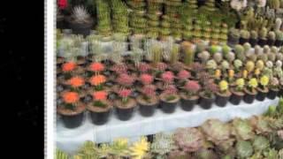 Cara Menyambung Kaktus