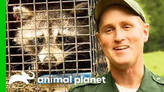 Bear-Proofing Raccoon Traps To Safely Get Rid Of Nuisance Wildlife | North Woods Law