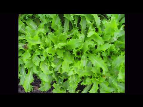 salad picking at Sheffield Organic Growers