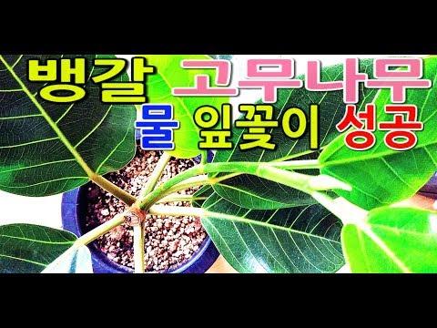 뱅갈고무나무 삽목후 성장과 잎물꽂이성공Suc