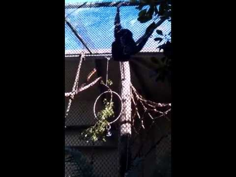 Gibbon at the Sequoia Park Zoo