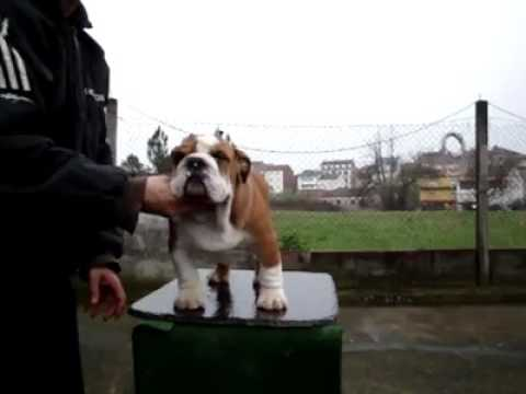 Trinidad and Tobago english bulldog..import from Spain DELEMAVOSBULLS MR. JAMES DEAN