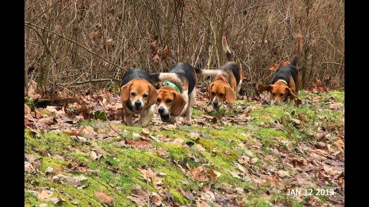 Beagle hunting - photo#7