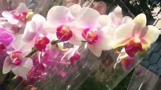 Анонс новой поставки орхидей от 25.05.2015 г