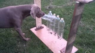 Dog, Intelligence, Playground, Weimaraner