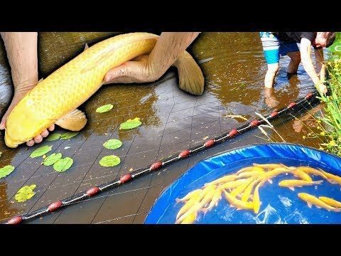 SEINING MY KOI POND | HOW MANY FISH ARE IN THERE? | SEINE NET HARVEST NATURAL MUD LAKE,CATCHING CARP