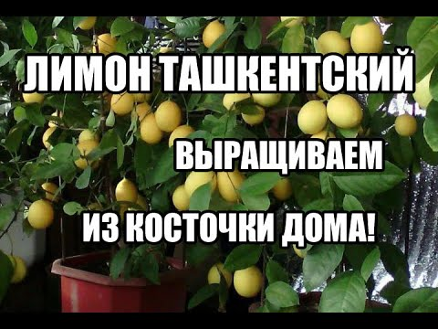 Ташкенский (домашний) лимон выращивание из косточки.