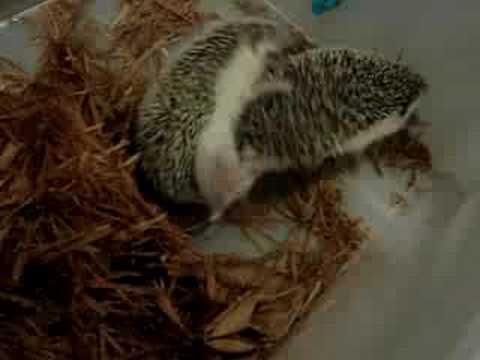 Hedgehog Mating - YouTube