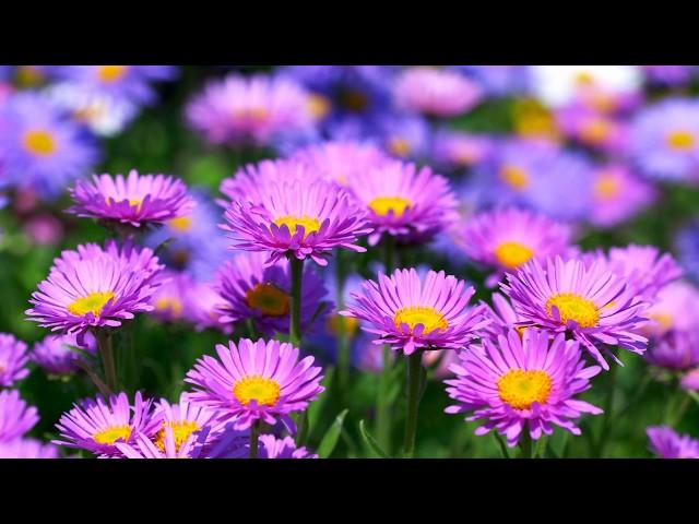 Bunga Aster Jenis Cara Tanam Hingga Manfaatnya Untuk Kesehatan