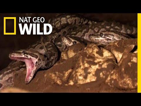 Python Babies Nurtured by Snake Mom in First-Ever Footage | Nat Geo Wild