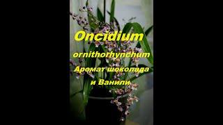 Онцидиум птицеклювый. Самый красивый с волшебным ароматом