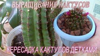 видео Лесной кактус уход и выращивание