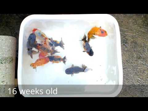 Goldfish From 1 Day To 16 Weeks