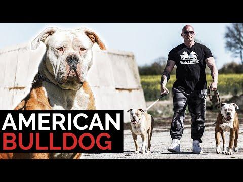 American Bulldog ein