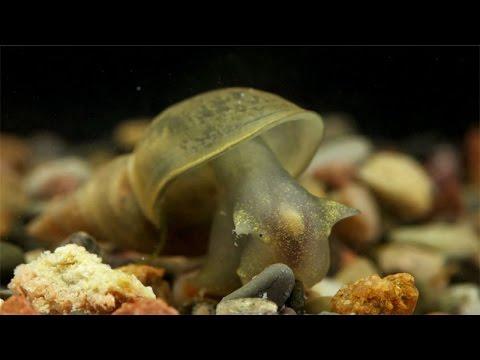 Lymnaea stagnalis / Spitzschlammschnecke / Great Pond Snail