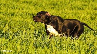 تدريب جرو بوانتار إنجليزي على التوقف بطريق صحيحة.Training a puppy English pointer on hunting