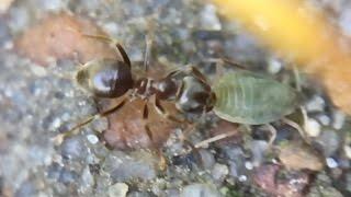 myrer malker bladlus