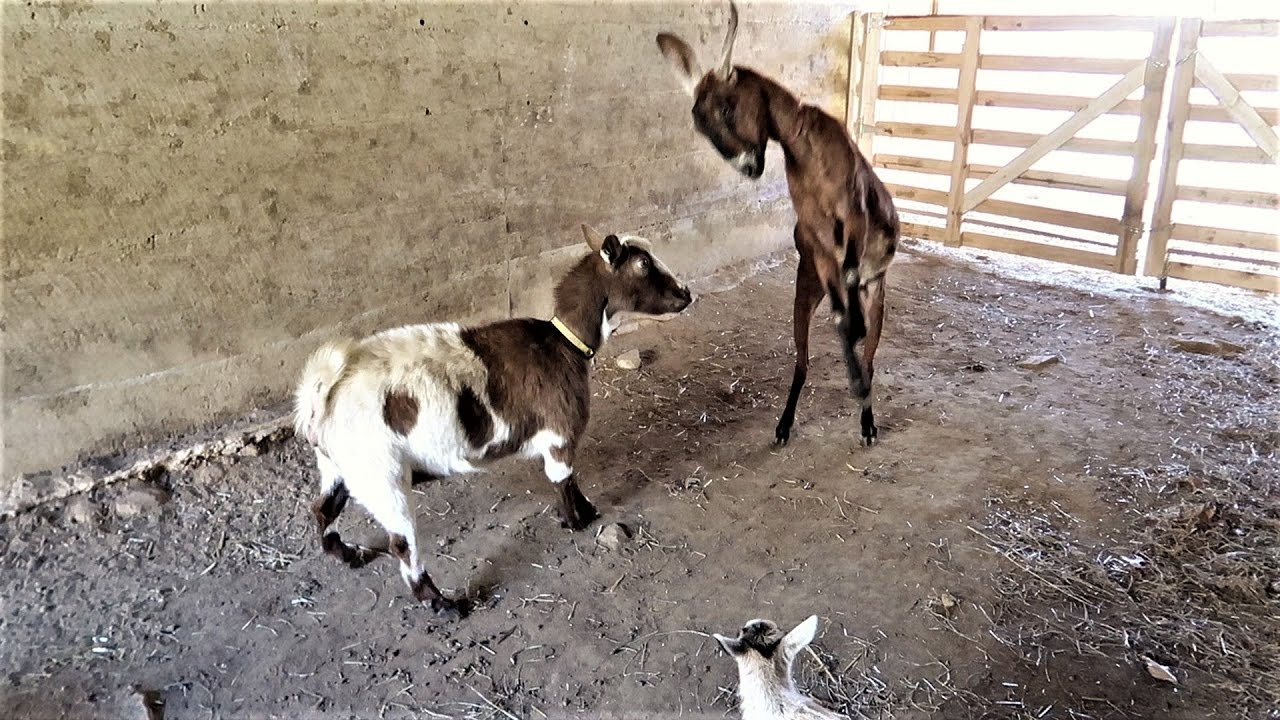 battle for the barn introducing a new goat to the herd youtube