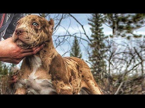 7 Perros Que Le Ganan al Pitbull