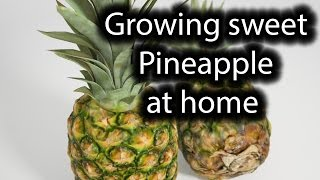 How to grow your own organic sweet Pineapple at home