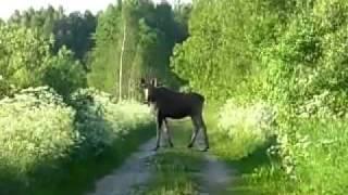 Охота на лося. Видео 5