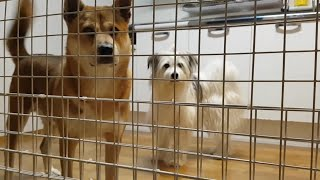 개들이 주인때문에 우울해진 이유 #진돗개 #강아지