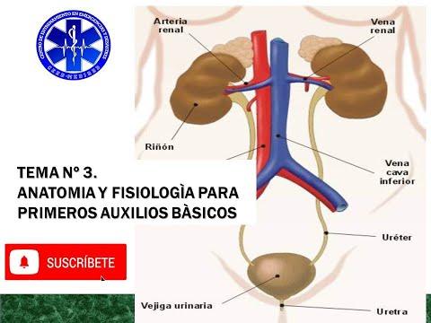 anatomÍa-y-fisiologÍa-para-primeros-auxilios-y-reanimaciÓn-cardiopulmonar-bÁsica