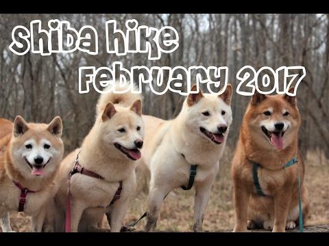 Hiking with Shiba Inus: February 2017