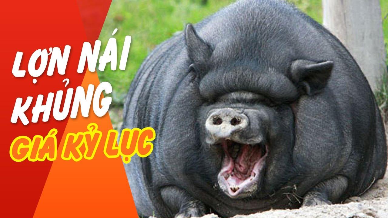 Giá thịt lợn tăng cao, 1 con lợn nái được bán với giá 24 triệu đồng