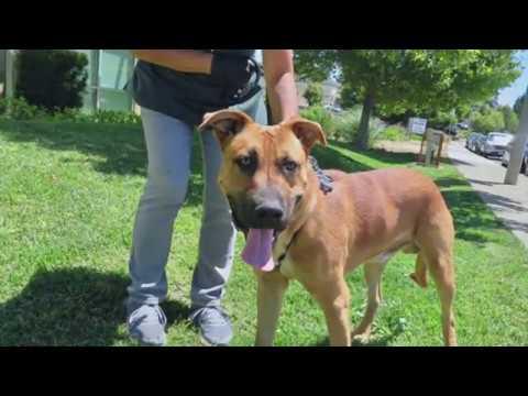 Sweet Lab Retriever Maxim Needs A Home! Shelter Dog 1 1/2 yr.