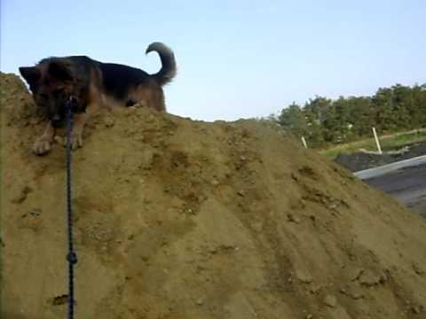 hera jade chien berger allemand german shepherd joue dans le sable drole humour amussant gag. Black Bedroom Furniture Sets. Home Design Ideas