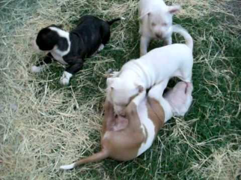 pitbull pups for sale TEXAS pride grand champion bloodline