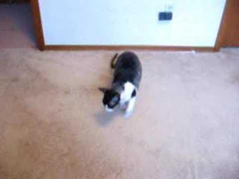 Cornish Rex Cat Does Somersault Trick