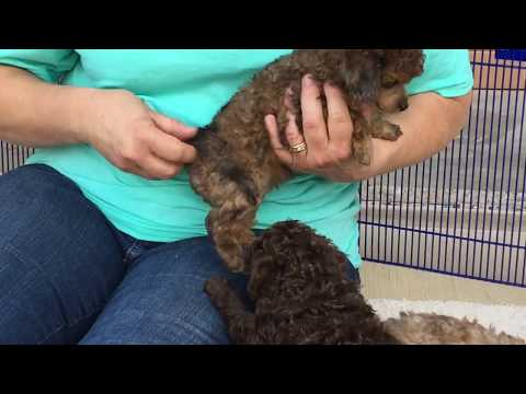 Shasta's toy poodles puppies. 8-21-18