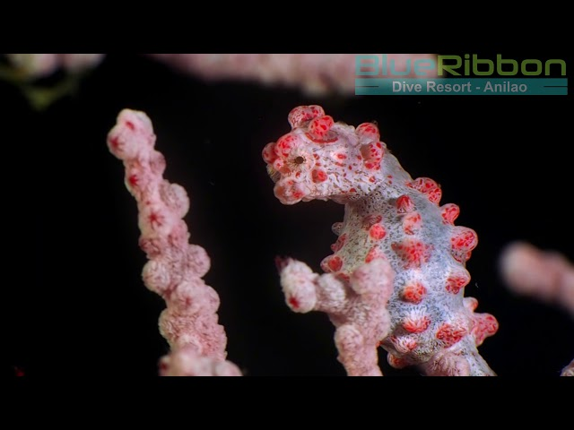 Bargibant's pygmy seahorse, filmed in Anilao, Philippines, by Blue Ribbon DIve Resort