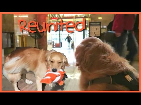 REUNITED - 2 DOGS VERY DIFFERENT REACTIONS