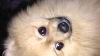 'giggy' Gigalo The Pretty Pompom Pomeranian. Pre-hair Brush Video. Crazy Carrot Eater :0d