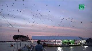 Đồng Tháp: Hàng ngàn chim én về trú ngụ ở nhà dân | VTC14