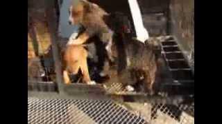 Husky/boxer Mix Litter!