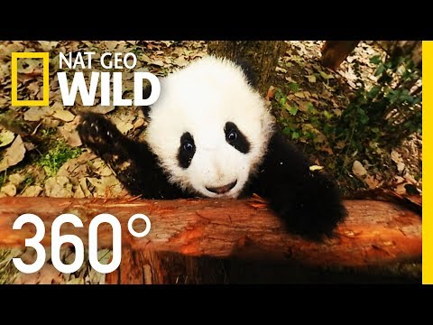 360°-baby-pandas- -nat-geo-wild