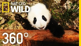360° Baby Pandas | Nat Geo WILD