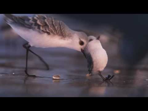 Piper (2016 Short) - Film Clip from the Pixar Short that accompanies Finding Dory