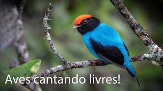 Brazilian birds and sounds! 2
