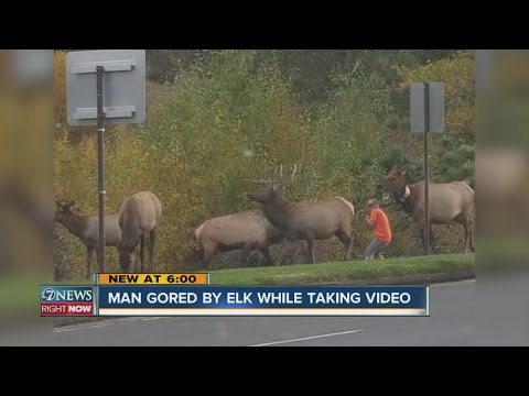 Man gored by elk while taking video