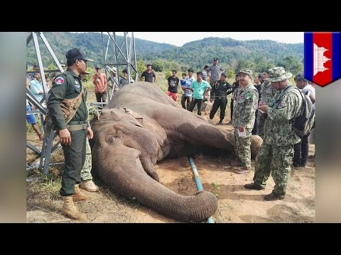 Endangered Asian elephant gets shocked to death after rubbing electrical tower - TomoNews