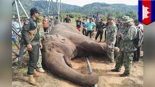 Endangered Asian elephant gets shocked to death after rubbing electrical tower   TomoNews