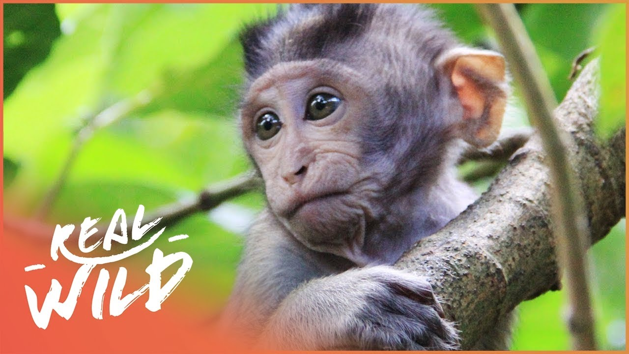 Cute Young Apes Getting Up To Monkey Business | Amazing Animals | Real Wild Documentary