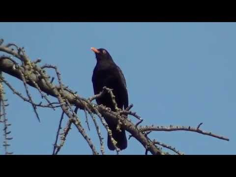 IL canto del merlo (the song of the blackbird)