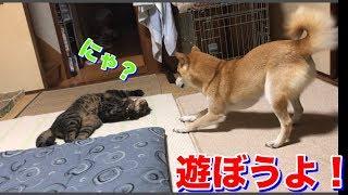突然遊びスイッチが入った柴犬ハナに猫クロたじたじ。最後は -- Shiba and cat are playing?--
